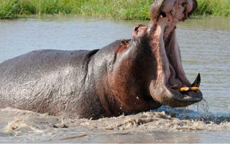 hippopotame animaux dangereux - topofthetop